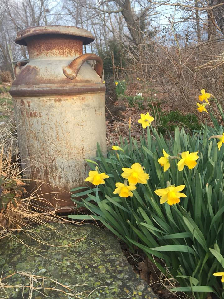 daffodils and rusty can