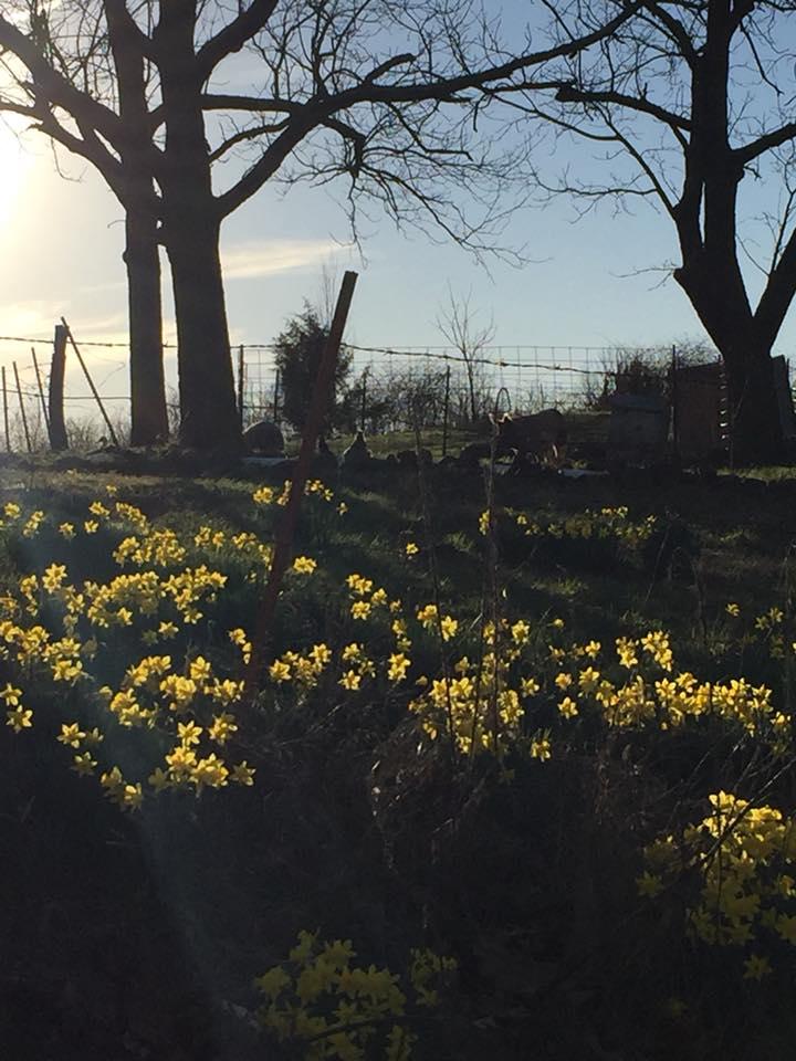 daffodils in sun